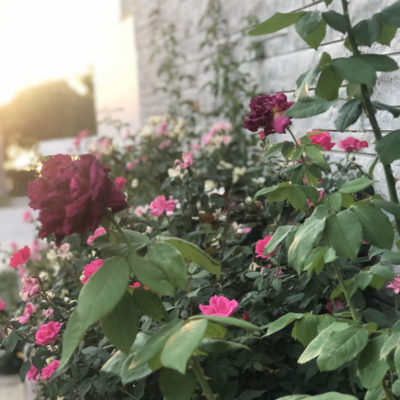 Red and Pink Roses in Downtown Glasgow Missouri